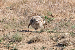 June 13, 2020 - Burrowing owl with attitude. (Tony's Takes)