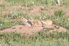 June 13, 2020 - Trio of prairie dogs. (Tony's Takes)