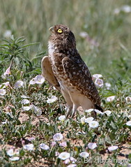 June 11, 2020 - Burrowing owl keeping an eye on the sky. (Bill Hutchinson)