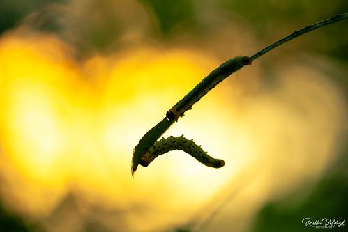 Sawfly larvae by sunset