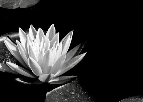 White Lily, From FlickrPhotos