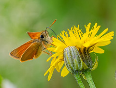 Butterflies 16.06.20 Small Skipper-1
