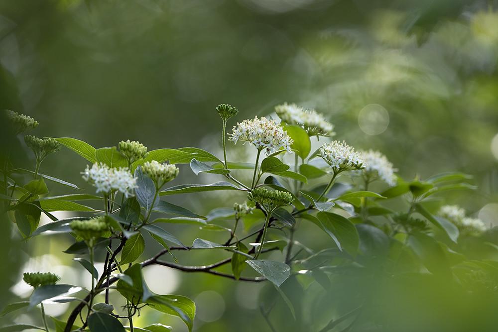 Silky dogwood (Cornus amomum) by Toni Genberg, on Flickr