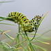 Oruga Papilio Macaon