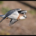 Black-shouldered Kite: Master of the Air