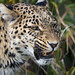 Angry leopardess