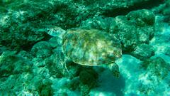 Sea turtle at Playa Grandi