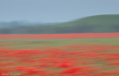 Photo of Poppies in June