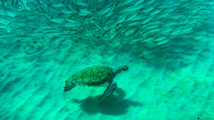 Turtle with a school of fish at Playa Grandi