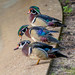 Male Wood ducks vying for attention