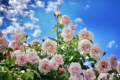 Pink roses & sky