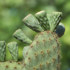 Prickly Pear Cactus, Galapagos