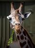 Cool Dude Giraffe..