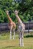 Rothschild Giraffe's