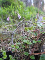 Photo of Twinflower - Linnaea borealis