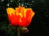 poppy1 with sunlight