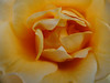 yellow rose CU