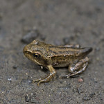 froglet with tail