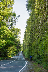 Photo of Meikleour Beech Hedge - Paul giving it a sense of scale