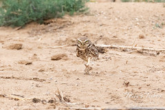 June 17, 2020 - A burrowing owl with attitude. (Tony's Takes)