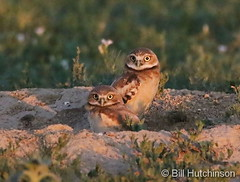 June 20, 2020 - Cute pair of burrowing owl owlets. (Bill Hutchinson)