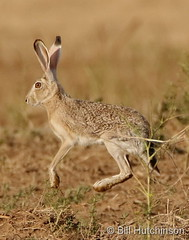 June 19, 2020 - Bounding jackrabbit. (Bill Hutchinson)