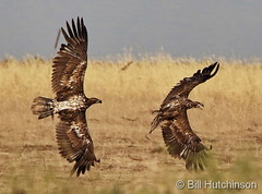 June 15, 2020 - Young bald eagles battle. (Bill Hutchinson)
