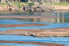 June 20, 2020 - A deer crosses the South Platte River. (Tony's Takes)