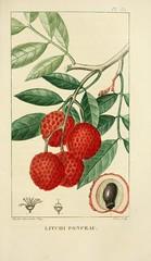 Anglų lietuvių žodynas. Žodis litchi chinensis reiškia <li>litchi chinensis</li> lietuviškai.