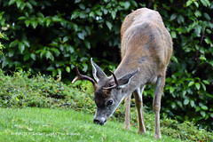 Odocoileus virginianus (White-tailed deer) at Poet's Cove on South Pender Island in BC  -  (Published by GETTY IMAGES)
