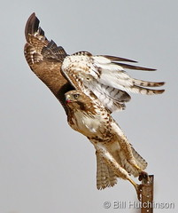 June 17, 2020 - Red tailed hawk depature. (Bill Hutchinson)