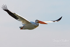 June 20, 2020 - A pelican in the skies. (Tony's Takes)