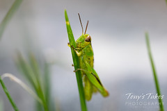 June 18, 2020 - A tiny grasshopper on a blade of grass. (Tony's Takes)