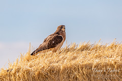 June 21, 2020 - Good looking Swainson's hawk. (Tony's Takes)