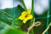キュウリの花にミツバチ