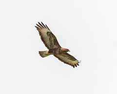 Grove Ferry 22.06.20 Buzzard-1