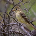 """You may ask yourself, well, how did I get here?""  Flycatcher 043  Lachman Road Pacific Palisades   Southern California_"