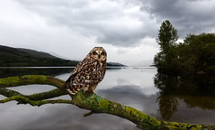 Photo of Loch Tay Owl (combined two images)