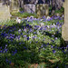 City of London Cemetery and Crematorium ~ blue and white campanula
