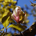 City of London Cemetery Magnolia flower 2