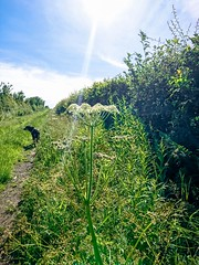 Photo of cow parsley_3797