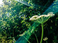 Photo of cow parsley_3795