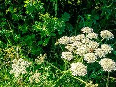 Photo of cow parsley_3795-2