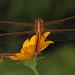 Needham's Skimmer - Libellula needhami and False Milkweed Bug - Lygaeus turcicus, Leesylvania State Park, Woodbridge, Virginia