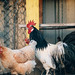 Beautiful domestic rooster and hens in the yard