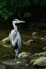 The Saltaire Heron