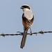 A Long Tailed Shrike offseason sighting