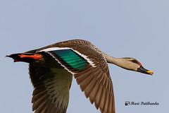 A Spot Billed Duck in Flight