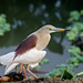 A Pond Heron - to fly or not to!