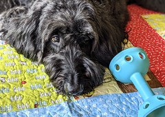 Benni chilling on the doggy quilt